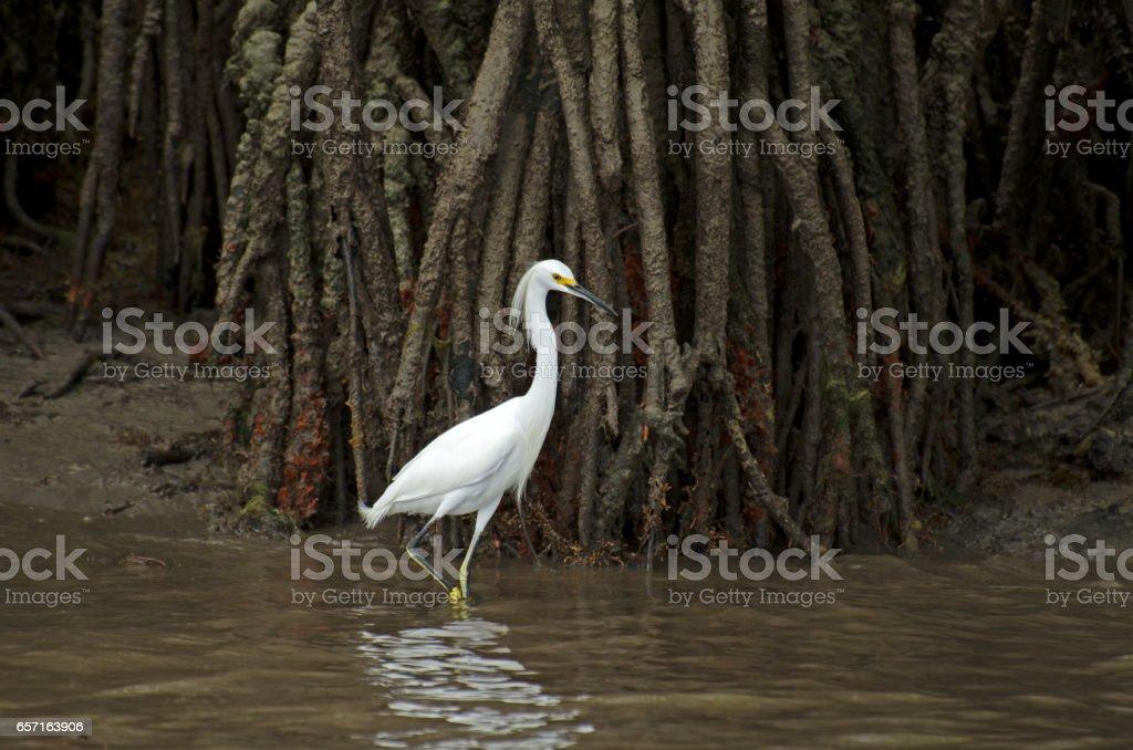 Adult snowy egret near Carneiros Beach stock photo