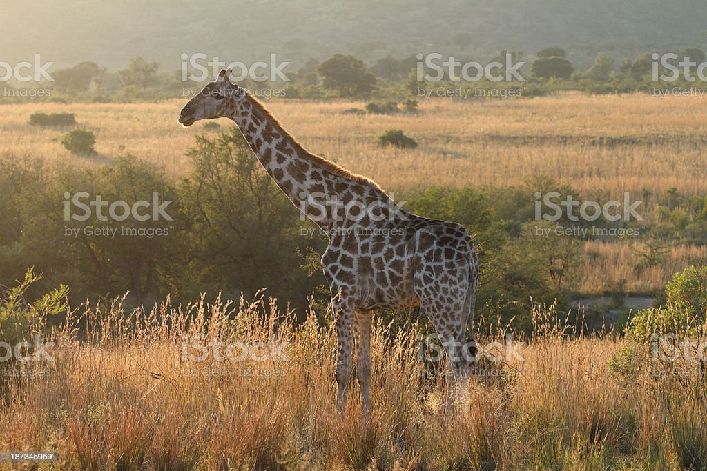 Adult Southern giraffe standing upright in open african plain stock photo