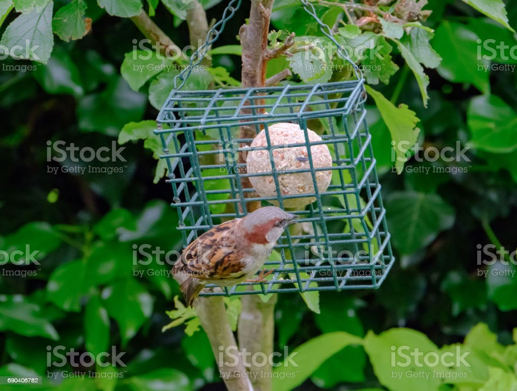 Adult sparrow seen perched on a bird feeder containing a high energy fat ball. stock photo