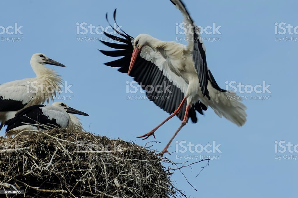 ADult stork landing while chicks watch stock photo