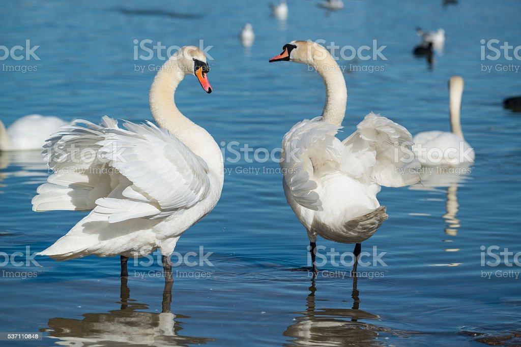 Adult swans stock photo