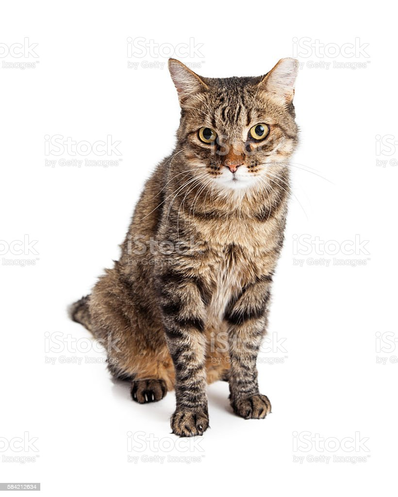 Adult Tabby Cat With Tipped Ear stock photo