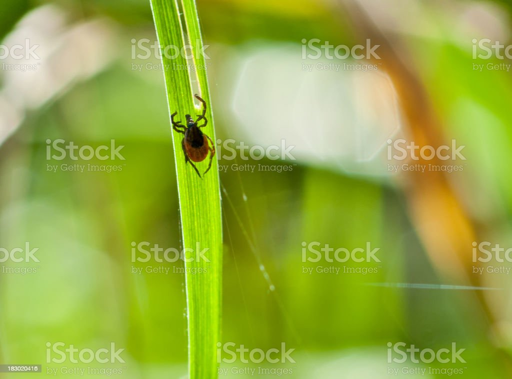 adult tick (Ixodes scapularis) on grass - nature shot stock photo