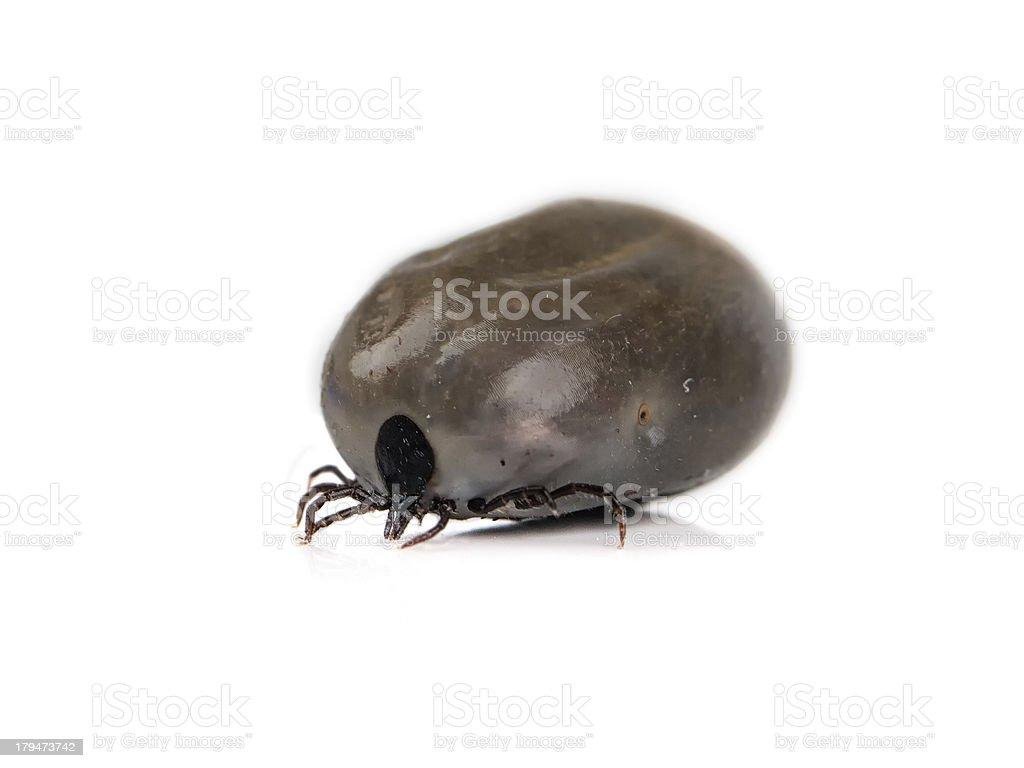 adult tick (Ixodes scapularis) royalty-free stock photo