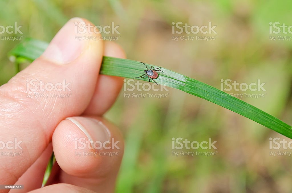 adult tick walking to warm source - nature shot stock photo