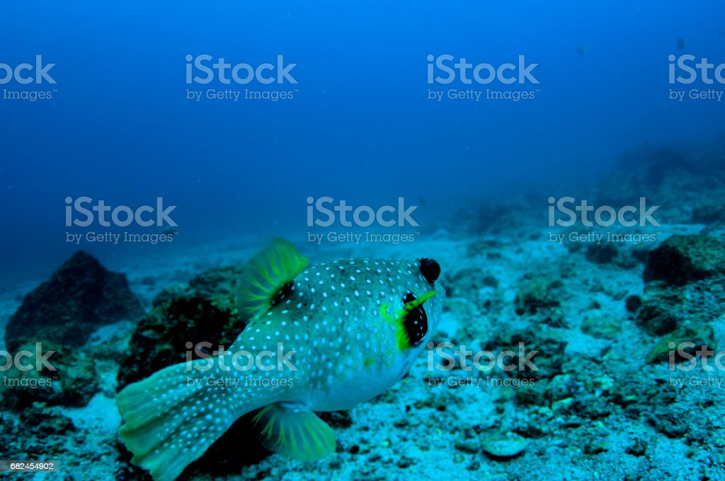 adult trunkfish from back looking over rocky sandy bottom stock photo