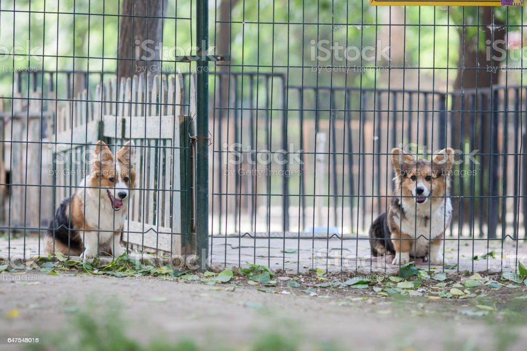 Adult welsh corgi pembroke in the fence of the park stock photo