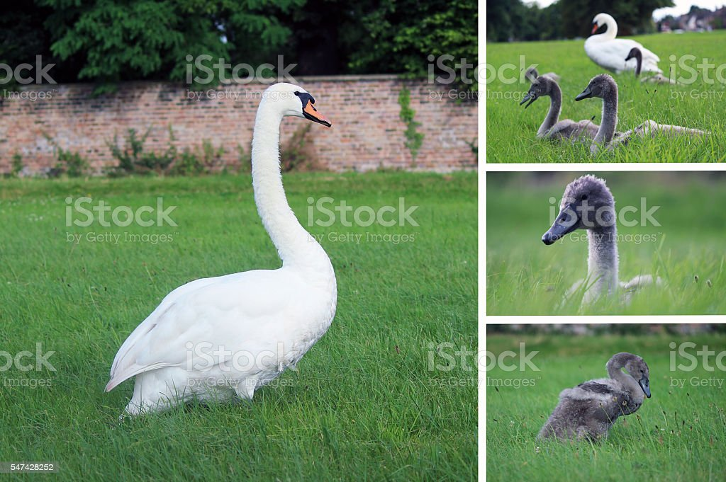 Adult White Swan and Cygnets in Green Grass stock photo
