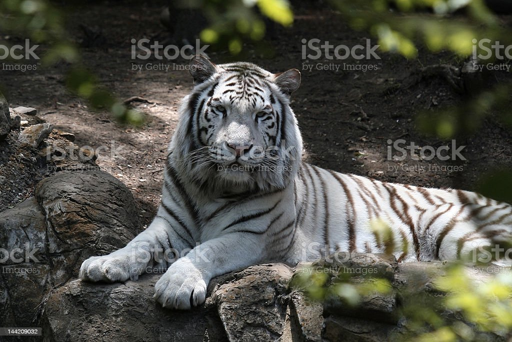 Adult White Tiger royalty-free stock photo