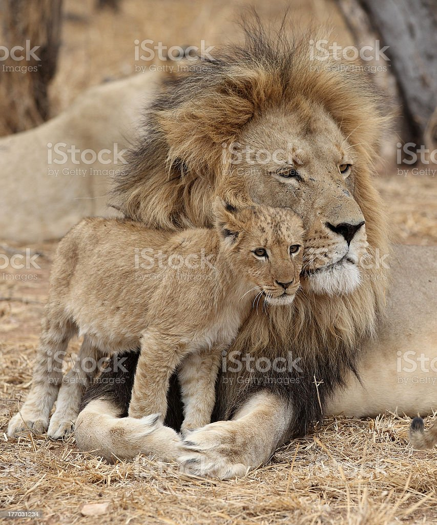 Adult with Baby Lion Cub in South Africa stock photo