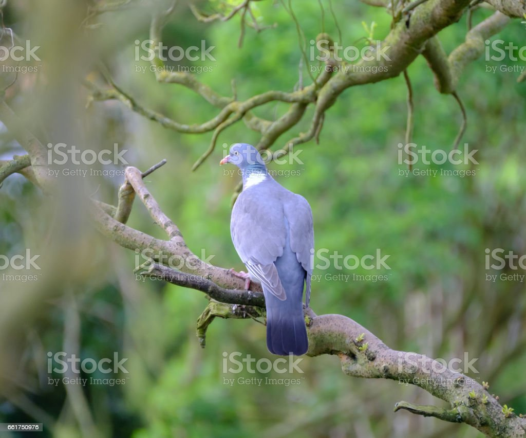 Adult Wood Pigeon seen sitting on a Willow branch, by a garden pond. stock photo
