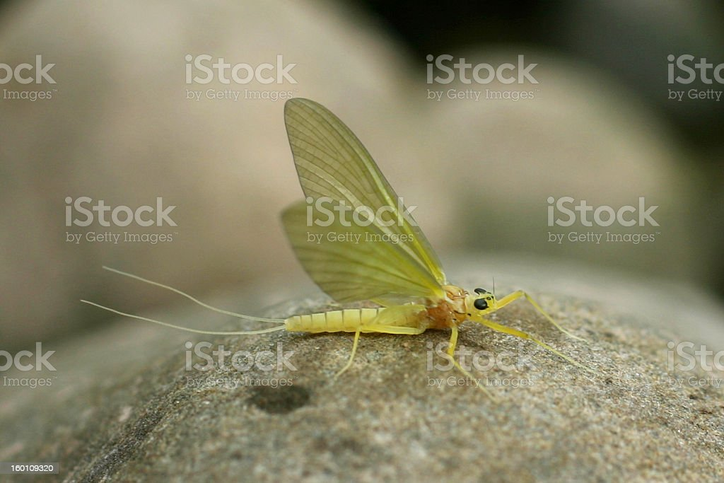 Adult Yellow Mayfly - Heptagenia sulphurea royalty-free stock photo