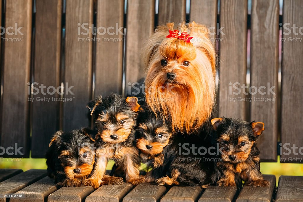 Adult Yorkshire Terrier dog with puppies stock photo