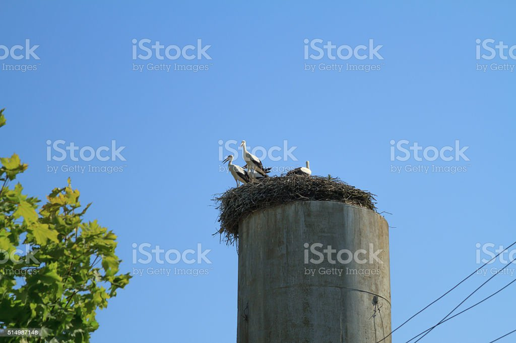 Adults and grown storks sitting in a nest. stock photo
