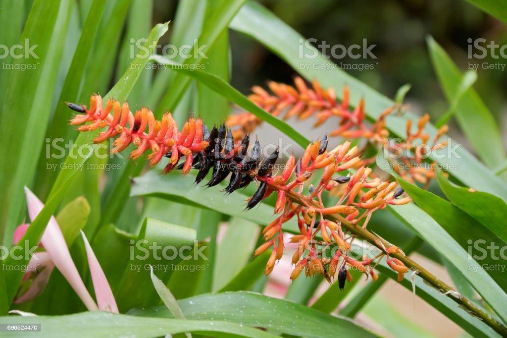 Aechmea Caudata flower in vibrant orange and black grown in Tasmania, Australia stock photo