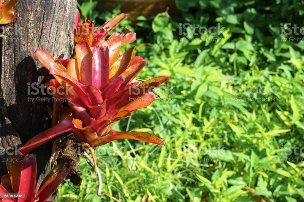 Aechmea fasciata kind of local Brazil Plants put on Dry tree stock photo