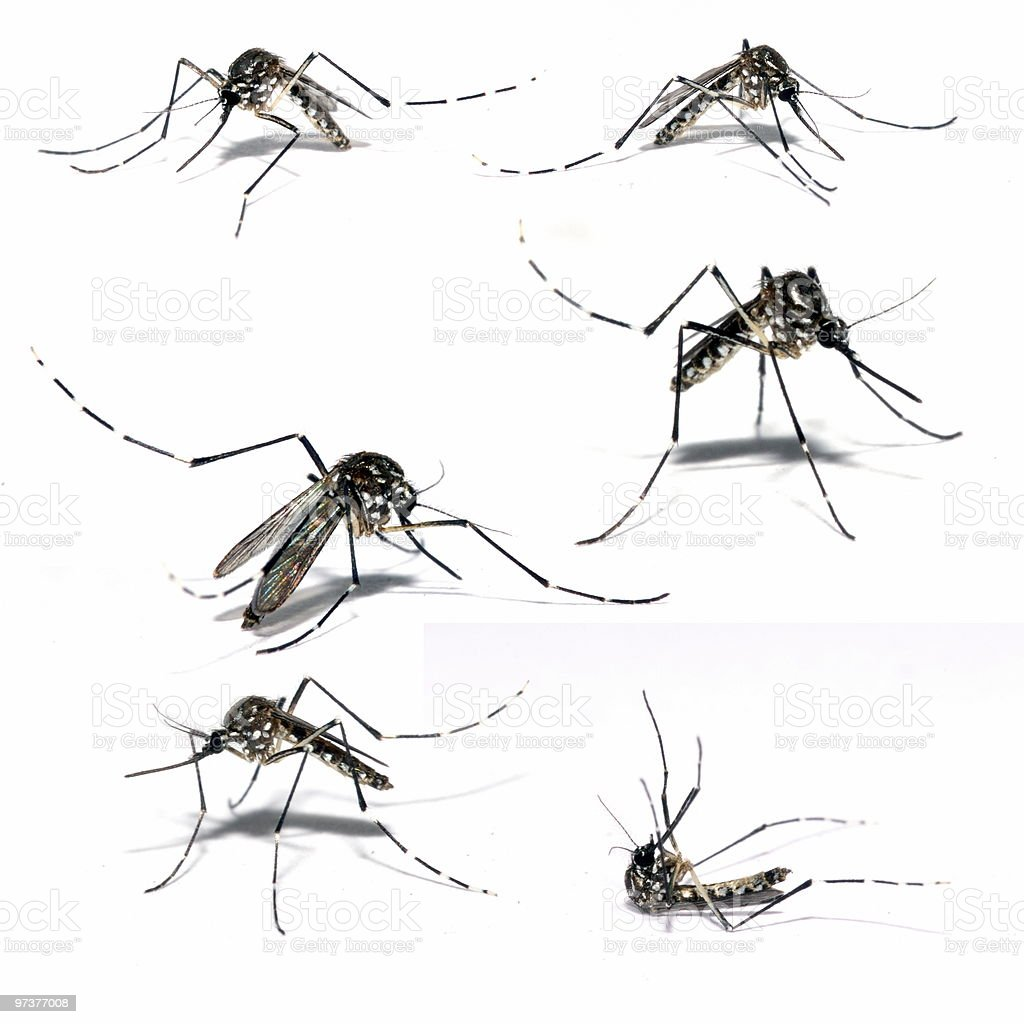 Aedes Aegipty royalty-free stock photo