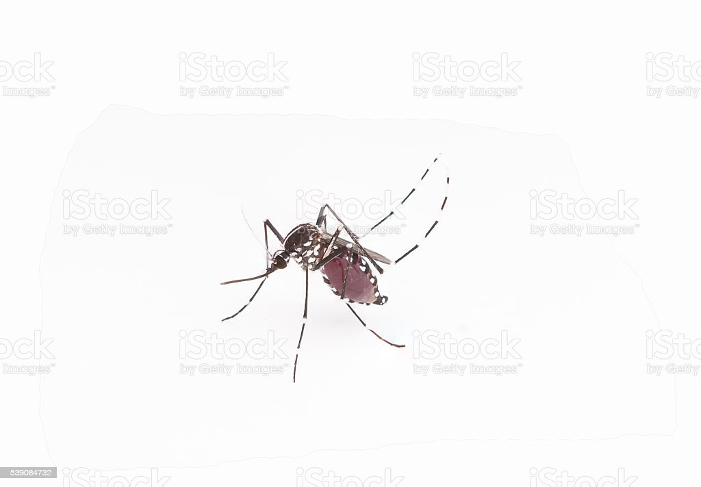 Aedes aegypti. Close up a Mosquito sucking human blood,Vector-bo stock photo