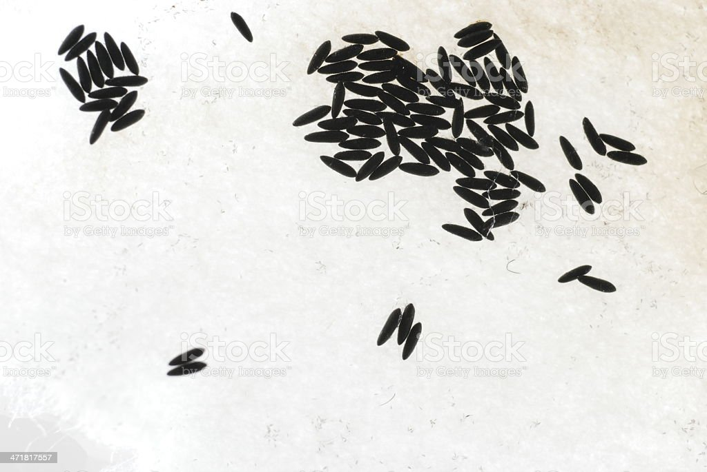 Aedes aegypti eggs royalty-free stock photo