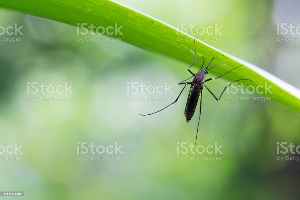 Aedes aegypti Mosquito. Close up a Mosquito Mosquito on leaf stock photo