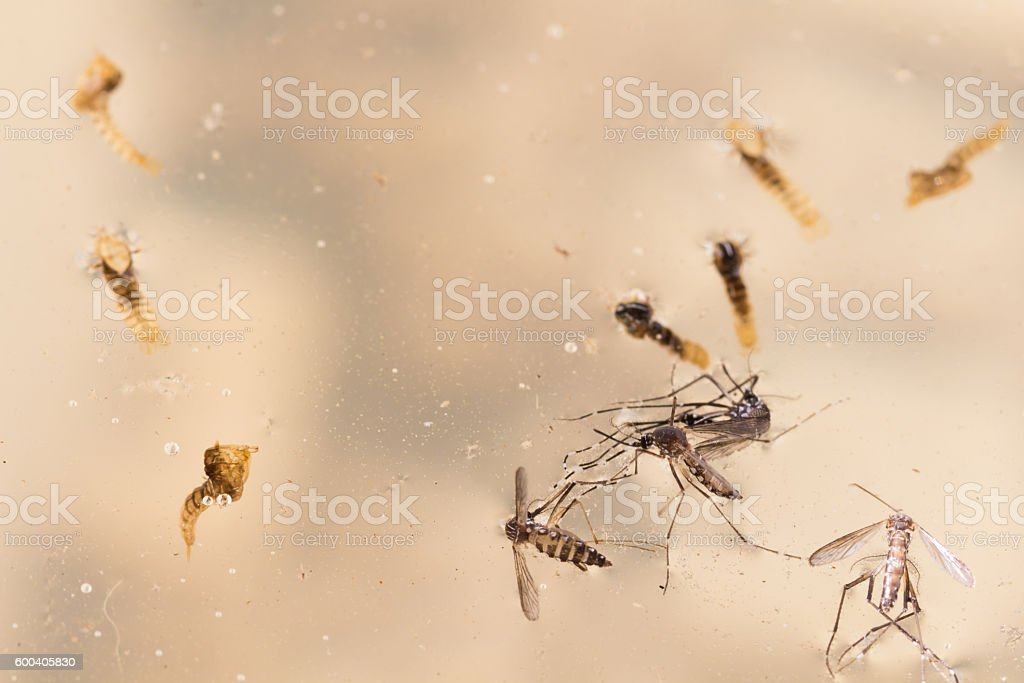 Aedes aegypti Mosquito. Close up a Mosquito new born, stock photo