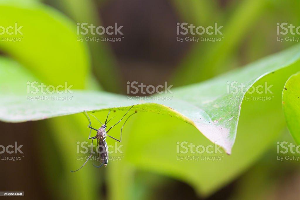Aedes albopictus,Aedes aegypti Mosquito. Close up a Mosquito. Mo stock photo