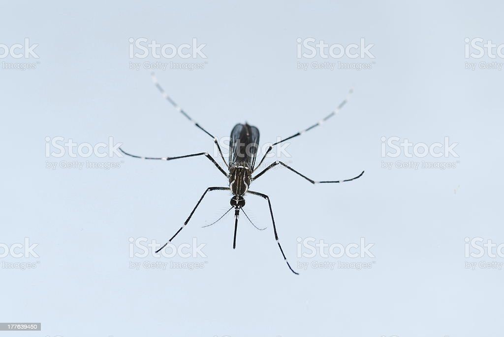 Aedes mosquito royalty-free stock photo
