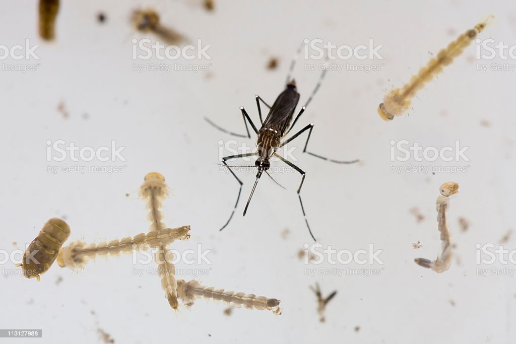 Aedes Zika Dengue Mosquito and Larvae royalty-free stock photo