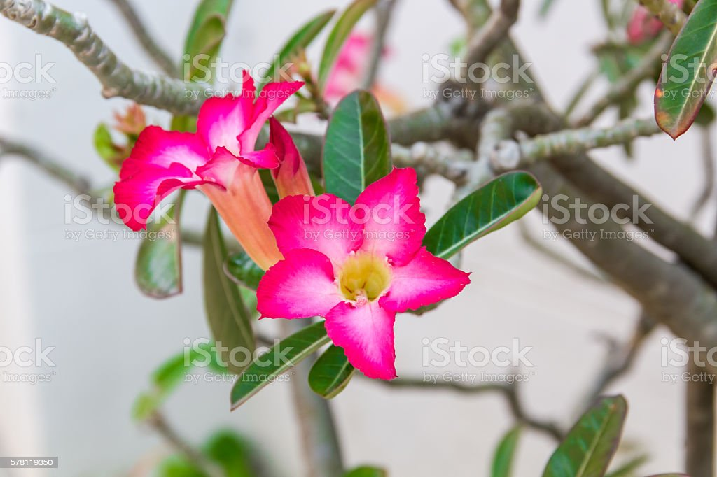 Aenium Tree - Socotra , Rose desert stock photo