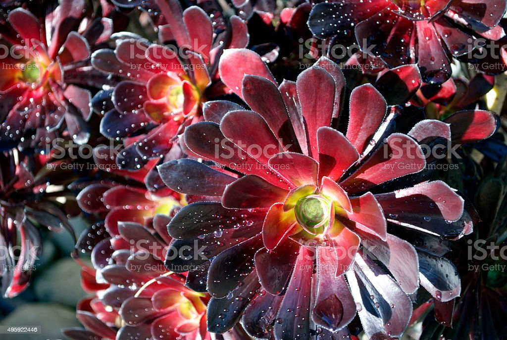 Aeonium Arboreum stock photo
