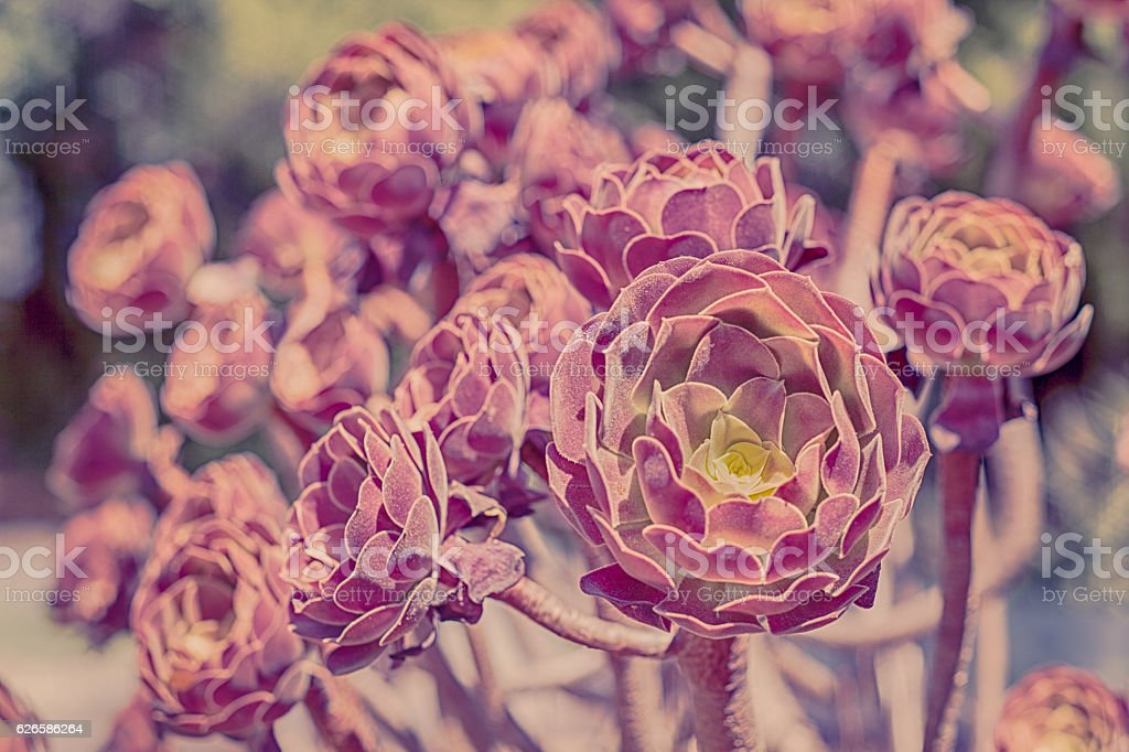 Aeonium Arboreum Velour - Succulent stock photo