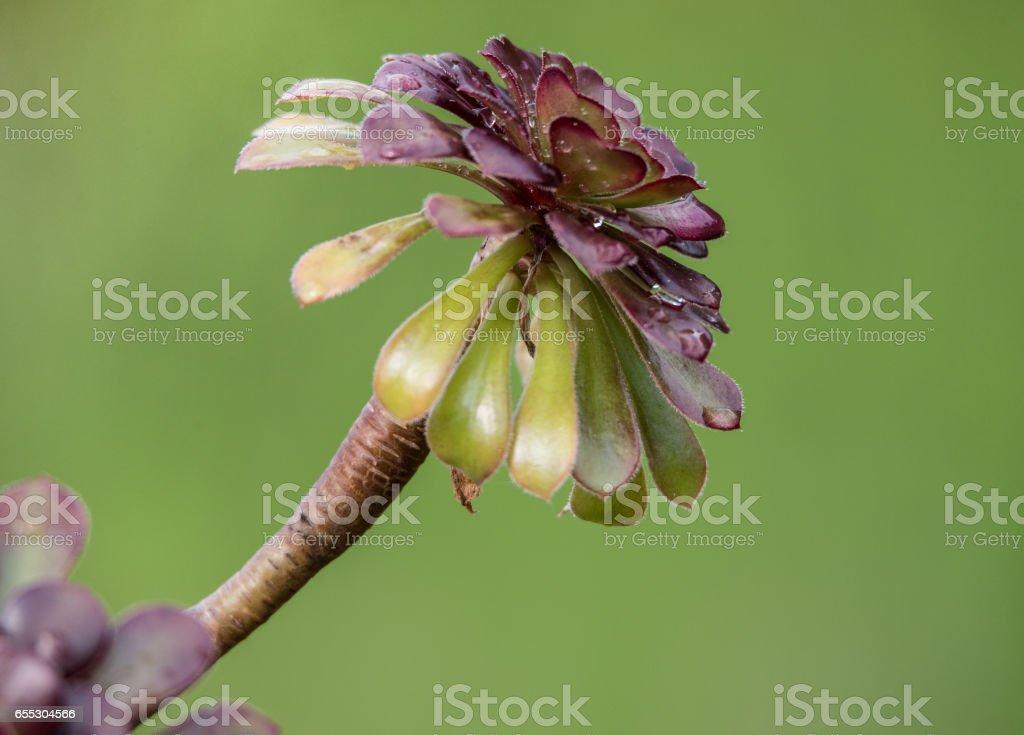 aeonium closeup on a soft green background stock photo