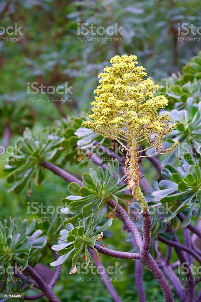 Aeonium manriqueorum stock photo