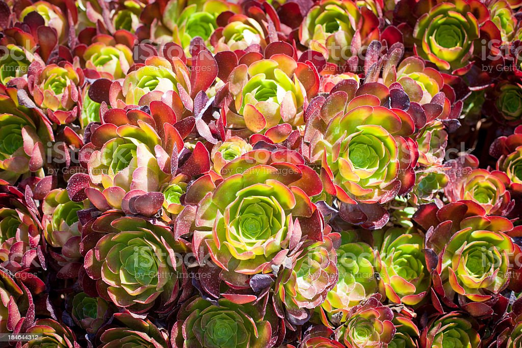 Aeonium Succulent Plant stock photo