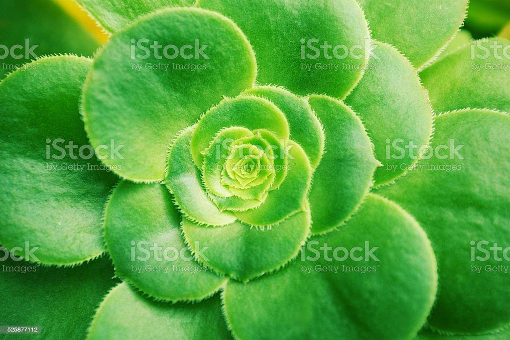 Aeonium succulent plants background stock photo