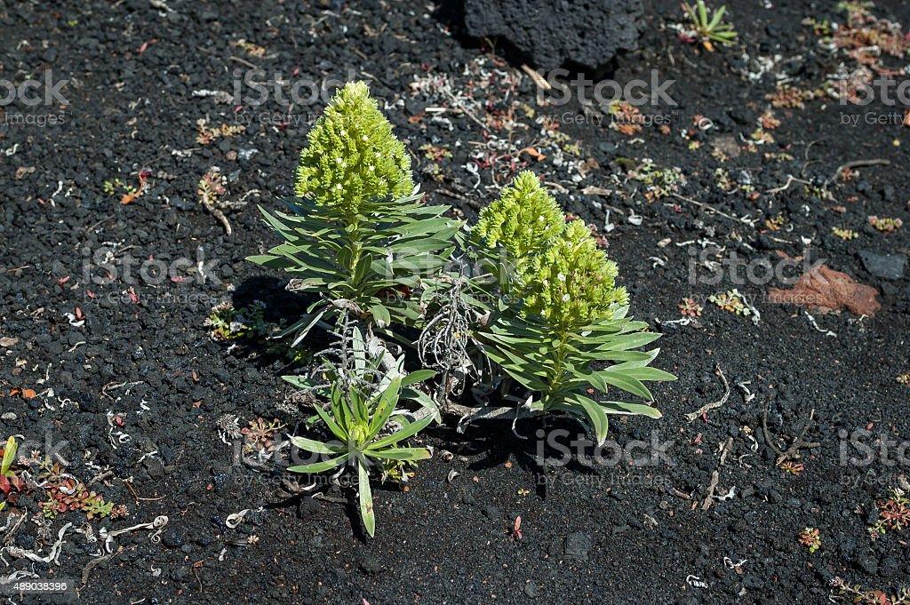 Aeonium vestitum succulent plant stock photo