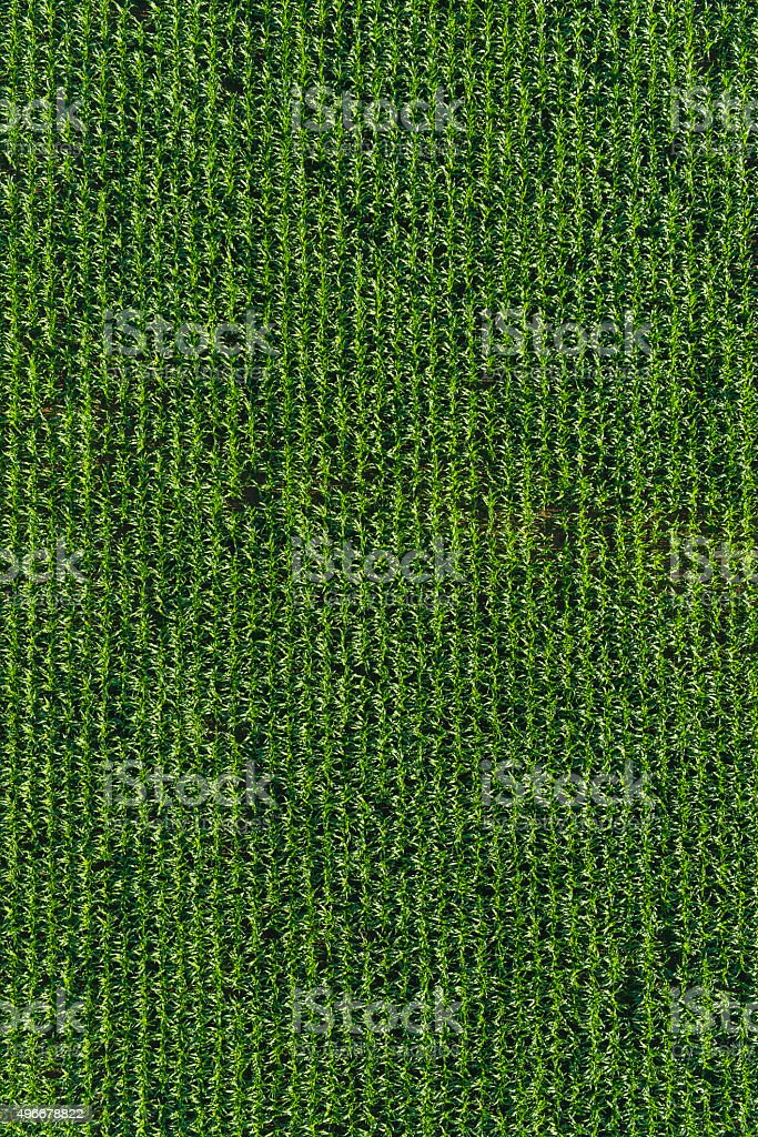 Aerial agriculture healthy green sweetcorn maize crop farm field background stock photo