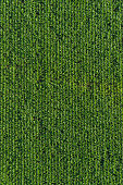 Aerial agriculture healthy green sweetcorn maize crop farm field background