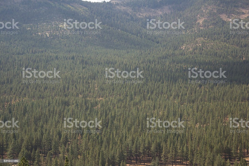 Aerial of a pine tree forest - Dog Valley California stock photo