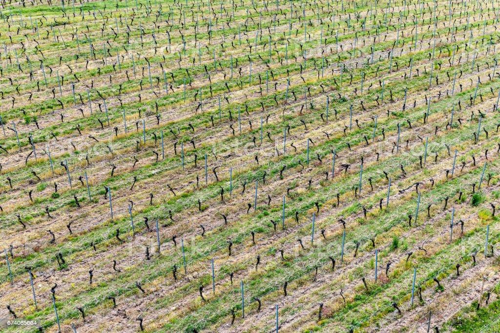 aerial of vineyard in spring with growing vine prages stock photo