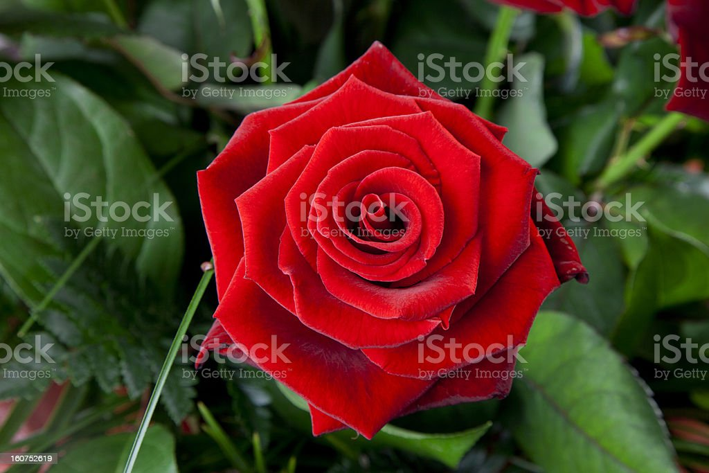 Aerial Rose stock photo