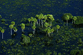 Aerial view of a buritizal in the wetlands of Pantanal