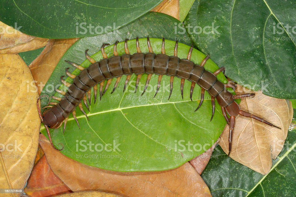 Aerial view of a centipede on a pile of leaves stock photo