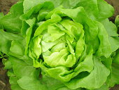 Aerial view of a green lettuce head