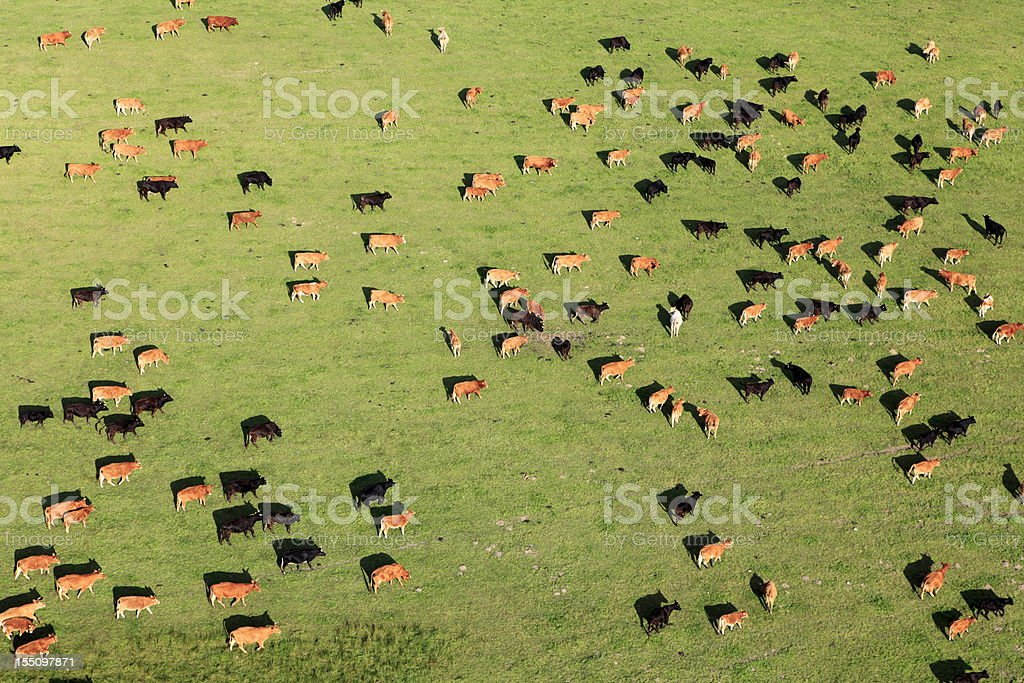 Aerial view of a large group of cattle in pasture stock photo