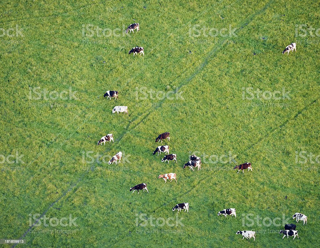 Aerial View of Cows Grazing in a Grass Field royalty-free stock photo