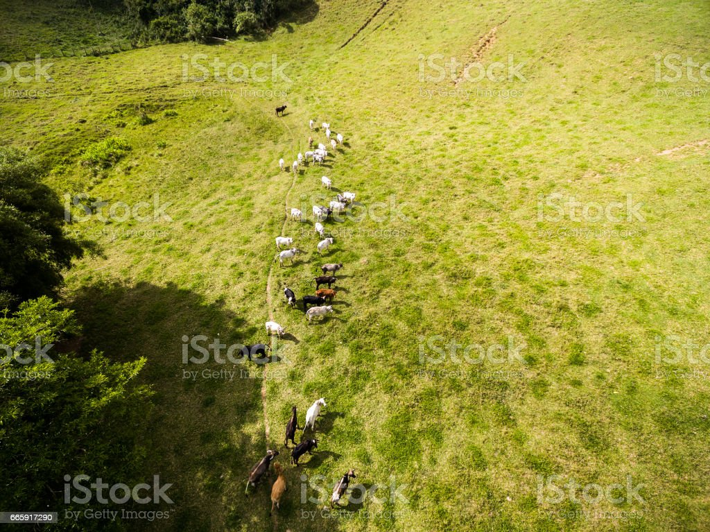 Aerial View of Cows on a Farm in Rural Area in Sao Paulo, Brazil stock photo