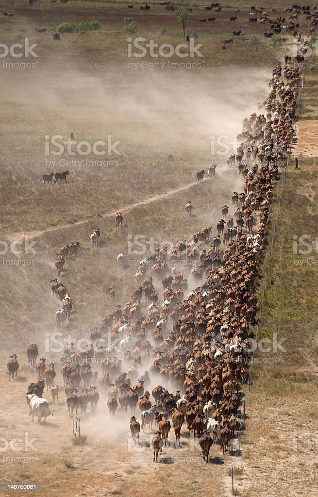 Aerial view of herd of cattle grazing stock photo