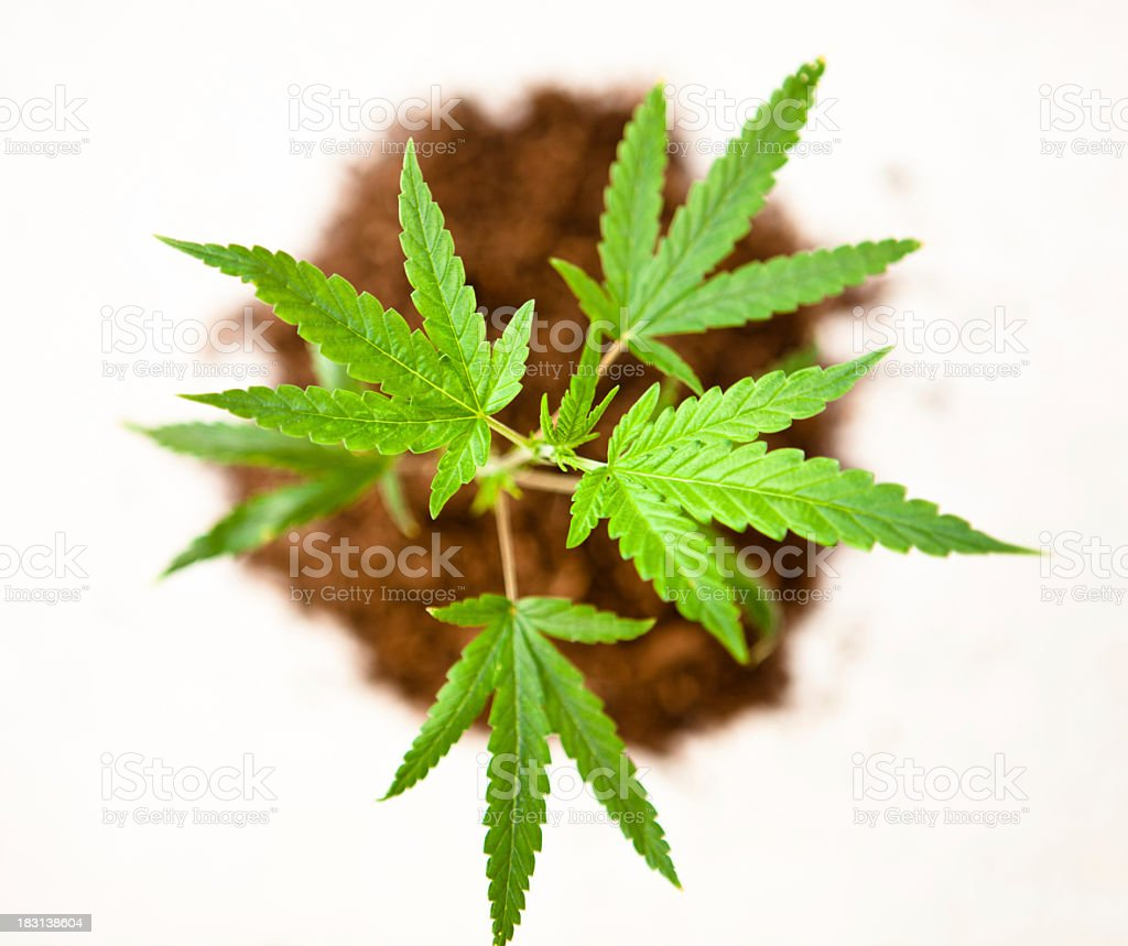 Aerial view of marijuana plants and dirt royalty-free stock photo