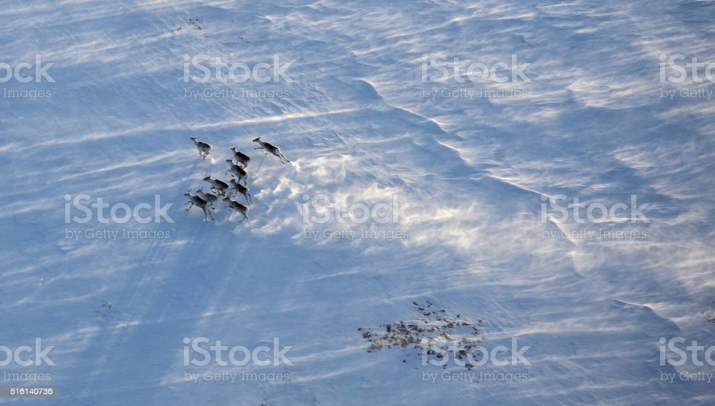 Aerial view of reindeer herd stock photo